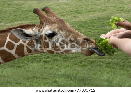 Young hands feed fresh green lettuce to a hungry giraffe - stock photo
