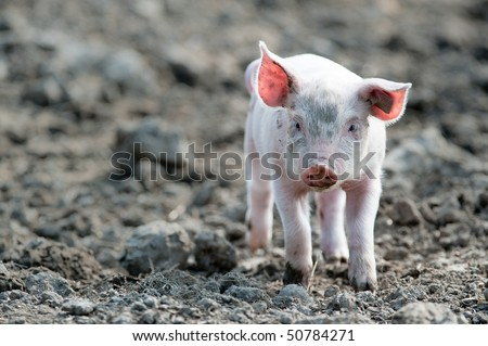 Baby Pigs In Mud Young happy baby pig with ear