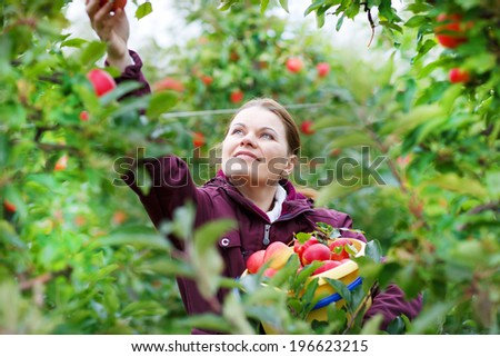 Young happy woman of 30 picking red organic fresh apples in an orchard. - stock photo