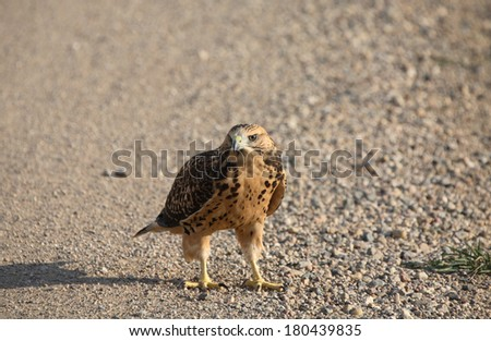 Young hawk on a Saskatchewan country road - stock photo