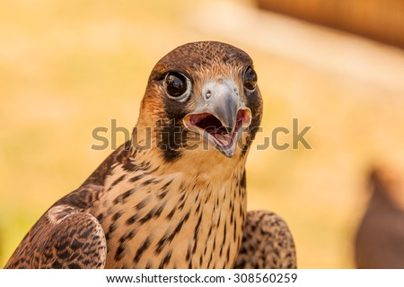 Young hawk or falcon ready for hunting - stock photo