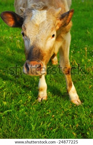 Young healthy cow - stock photo