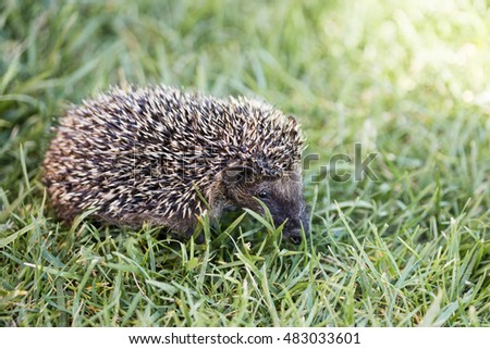 Young hedgehog close-up in a grass