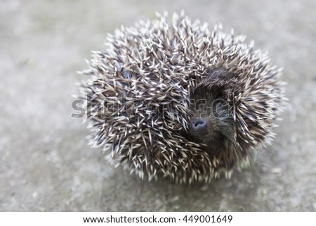 Young hedgehog curled up into a ball - stock photo