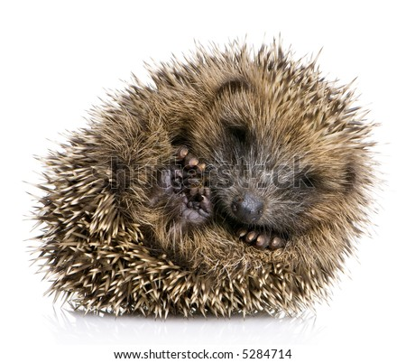 Young hedgehog curled up into a ball (1 months) in front of a white background