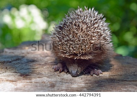 Young hedgehog curled up to protect himself. The hedgehog walk on nature sunny summer day.Wild courageous hedgehog in the forest. - stock photo