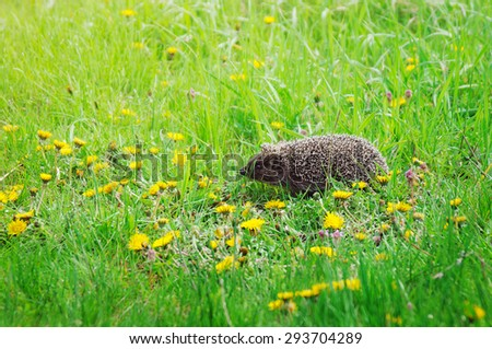 Young hedgehog in a green grass  - stock photo