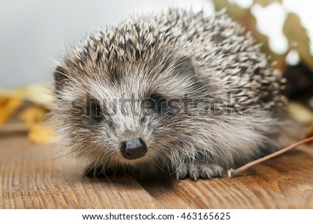Young hedgehog in autumn leaves on the wooden floor