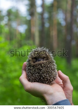 Young hedgehog in hand with forest foreground  - stock photo
