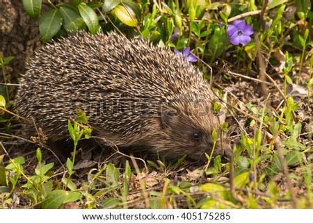 Young hedgehog in natural habitat. Clouse up - stock photo