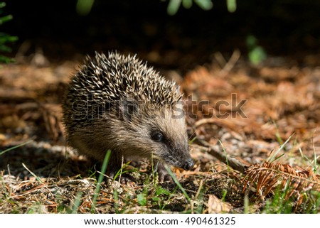Young hedgehog in the garden