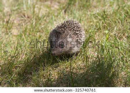 Young hedgehog in the grass