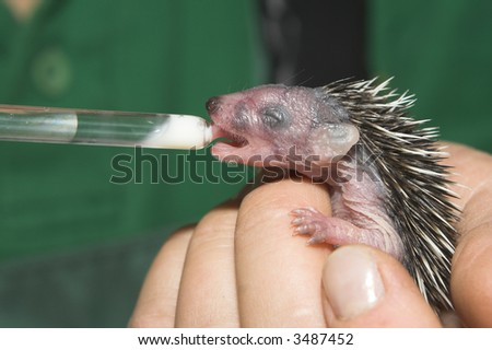 Young hedgehog in ? zoo - stock photo