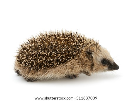 Young hedgehog isolate on the white background