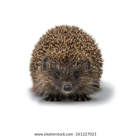 young hedgehog isolated on white - stock photo