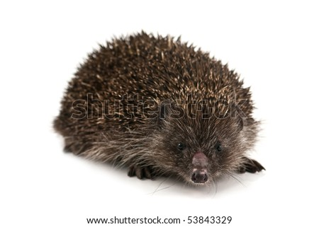 young hedgehog isolated on white