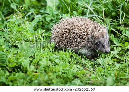 young hedgehog walking in backyard garden searchinf food - stock photo