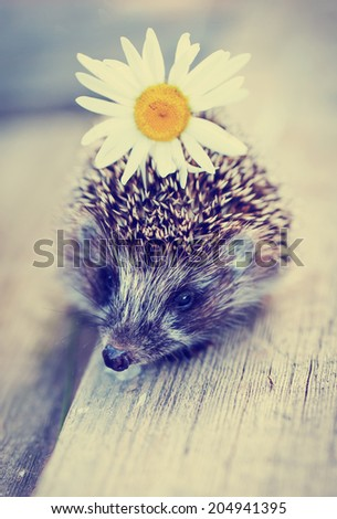 Young hedgehog with daisy flower/ selective focus - stock photo