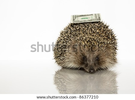 Young hedgehog with dollar, about a year. In  front of white background