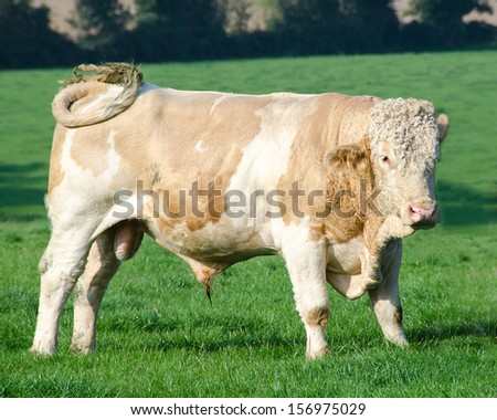 Young Hereford Bull - stock photo
