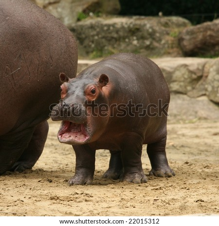 Young hippo - stock photo