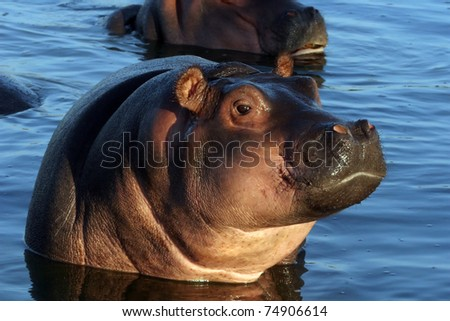 young Hippo