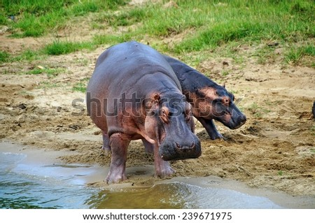 Young hippo behind adult on the shore of Kazinga Channel at Queen Elizabeth National Park, Uganda - stock photo