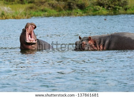 young hippopotamus and mother  in the water. - stock photo