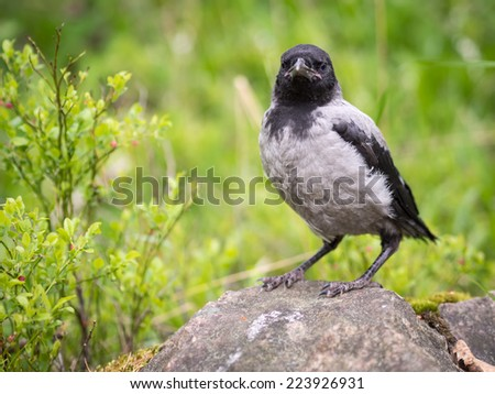 Young hooded crow chick standing on a stone. The Hooded Crow (Corvus cornix) (also called Hoodiecrow) is a Eurasian bird species in the crow genus. - stock photo