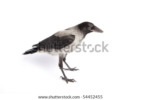Young hooded Crow (Corvus cornix) , isolated on white background - stock photo