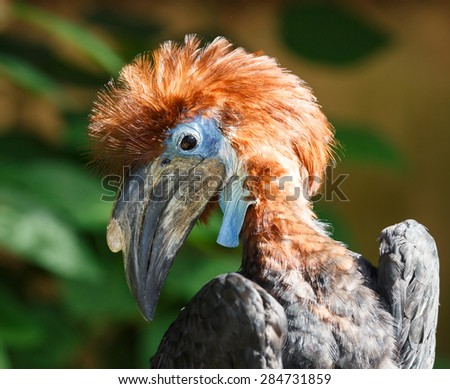 Young Hornbill Bird with a long beak and blue face - stock photo