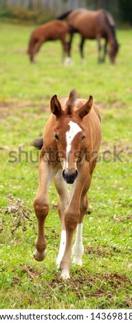 Young horse running on the green meadow. Horses grazing on the background.