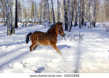 young horse runs in the deep snow in the forest