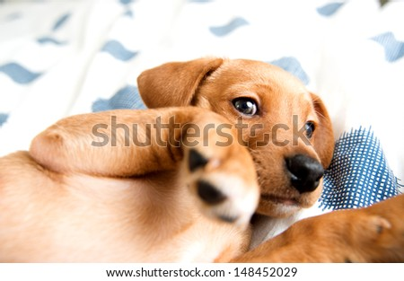 Young Hound mix Puppy Relaxing on Owner's Bed Looking at Camera - stock photo