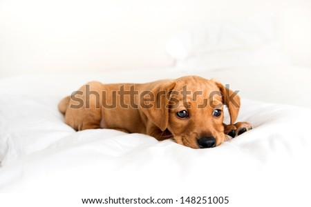 Young Hound mix Puppy Relaxing on White Bed