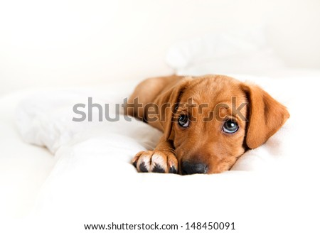 Young Hound mix Puppy Relaxing on White Bed - stock photo