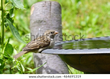 Young house sparrow in a bird bath.