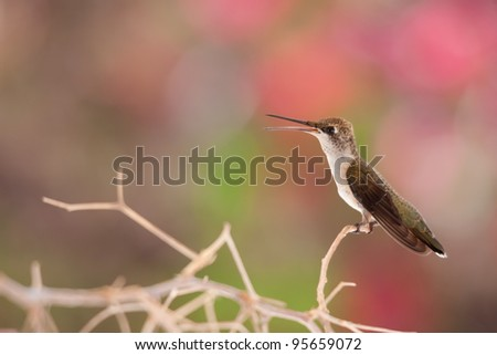 Young hummingbird on branch - stock photo