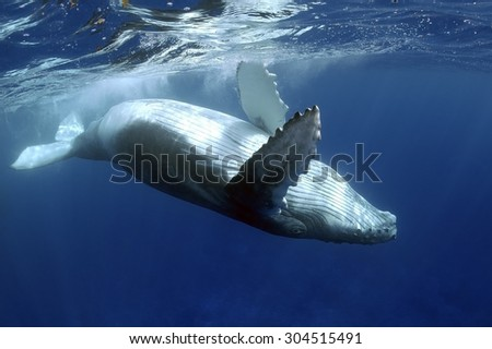 YOUNG HUMPBACK WHALE SWIMMING AND TURN CLOSE TO SURFACE - stock photo