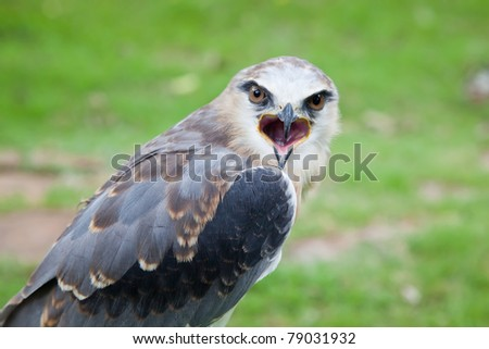 Young hunter : young black-shouldered kite hawk - stock photo