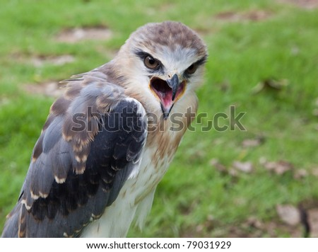 Young hunter : young black-shouldered kite hawk with US flag - stock photo