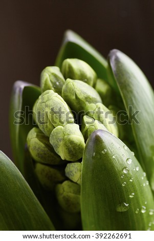 Young hyacinth buttons closeup with water drops
