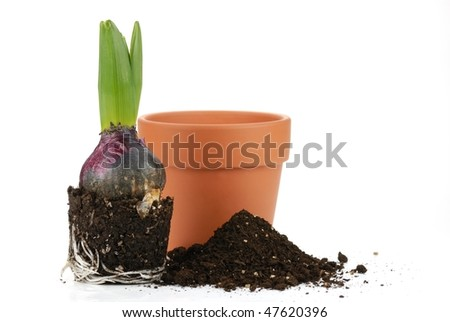 Young hyacinth with clay pot on white background - stock photo