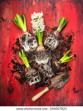 Young  hyacinth with old garden shovel and soil on red wooden background, spring gardening, top view - stock photo