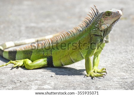 Young Iguana male laying on a driveway taking the early morning sun - stock photo