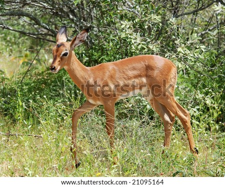 Young Impala Antelope (Aepyceros Melampus) in the Kruger Park, South Africa