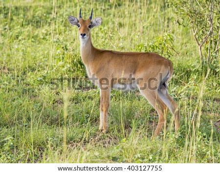 Young impala at the Murchison Falls National Park in Uganda, Africa - stock photo