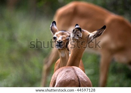 Young impala cleaning each other, South Africa - stock photo