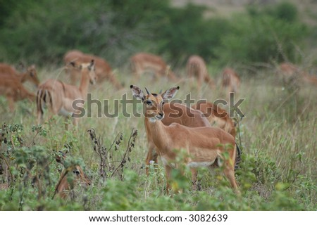 Young impala male just getting horns in a a herd - stock photo