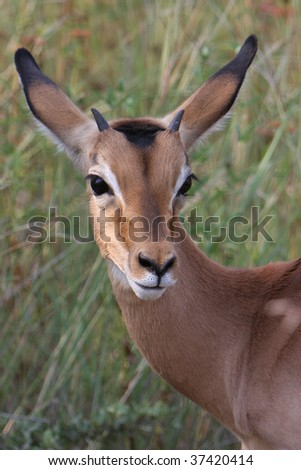 Young impala portrait with attentive pose; Aepyceros melampus; South Africa - stock photo